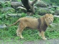 В зоопарке Ниццы лев напал на девочку
