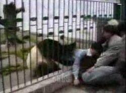 Панда напала на посетителя зоопарка (видео)