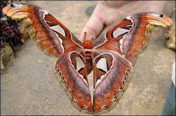 Самая большая бабочка в мире (фото)