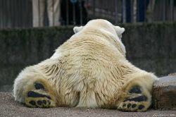 Чем белым медведям грозит глобальное потепление? (видео)