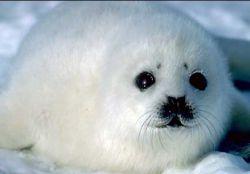 """Детенышей тюленя убивают для того, чтобы \""""занять делом спивающихся поморов\"""", и ради шуб стоимостью 500 тысяч рублей"""