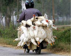 Птичий грипп способен мутировать в смертельно опасный