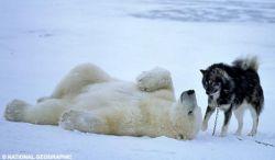 Как белый медведь подружился с собаками (фото)