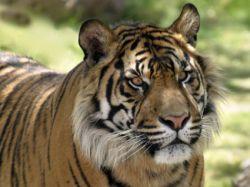 Тигр съел душевнобольного посетителя зоопарка