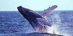 На западе Исландии туристам предлагают понаблюдать за китами