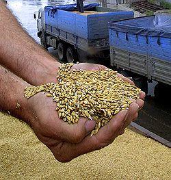 Как устроен рынок зерна в России