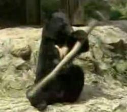 Медведь, который владеет кунг-фу (видео)