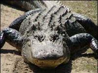 Кровь аллигаторов поможет в борьбе с инфекциями