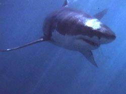 На востоке Австралии 16-летний подросток скончался в результате нападения акулы