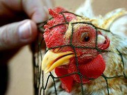 В Тибете зафиксирован случай птичьего гриппа