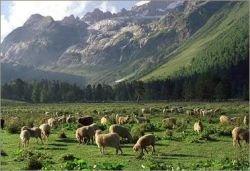Итальянцы заменяют газонокосилки овцами
