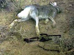 Жестокие методы добычи диких животных запрещены