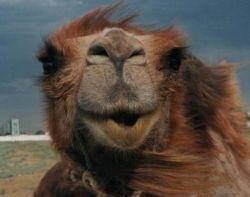 Рекорд стоимости верблюда продержался всего одни сутки. Новый чемпион стоит 4 миллиона долларов