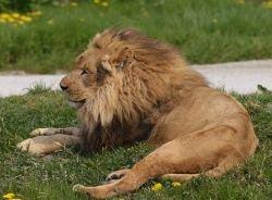 Жительница Краснодара обнаружила у себя на дачном участке живого льва