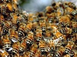 В Мексике от нападения пчел пострадали 70 полицейских