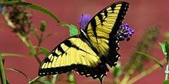 В Корее пройдет фестиваль бабочек