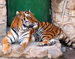 В Приморье тигр терроризирует деревни и ест собак