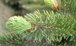 Шведские ученые нашли 8-тысячелетнюю ель