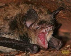 Техасские мыши-вампиры (фото)