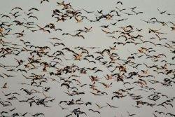 Перелетных птиц сбивает с курса генетический дефект