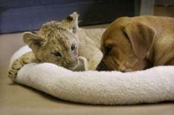 Как собака вырастила львенка (фото)