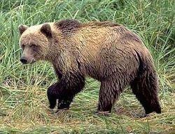 В Подмосковье пойман голодный и избитый медведь