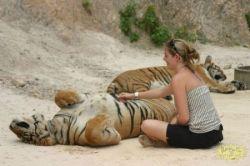 Храм тигров в Бангкоке (фото)