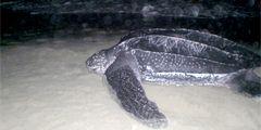 На доминиканском пляже охраняют место кладки яиц уникальной черепахи