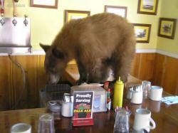 Калифорнийские медведи не прочь сходить в ресторан (фото)