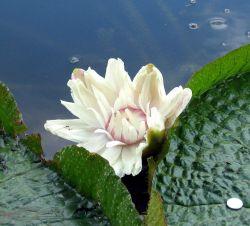 Процесс цветения гигантской водной лилии заснят на видео (видео)