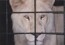 Житель Румынии прятал дома льва