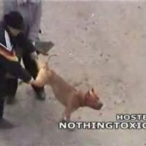 Бойцовая собака атакует людей (видео)