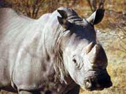 Ученые попытаются спасти вымирающего белого носорога с помощью клонирования