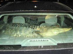 Американец катал в машине двухметрового аллигатора