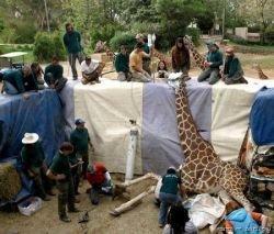 Жираф на приёме у косметолога (фото)