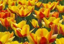 Запах цветов ухудшается из-за загрязнения воздуха