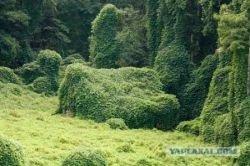 Японское растение кудзу, поглощающее дома в США (фото)