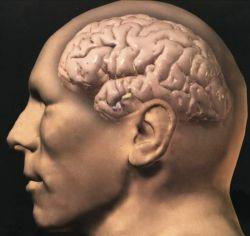 Зависят ли интеллектуальные способности от массы мозга?