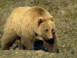 В Калифорнии медведь гризли загрыз дрессировщика