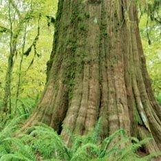 В Мексике растет самое гигантское дерево в мире