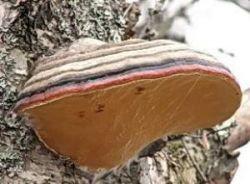 Можно ли есть древесные грибы?