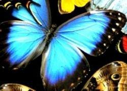 Британские ученые опасаются исчезновения бабочек