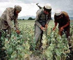 Производство героина в Афганистане уже на 30% превышает мировой спрос