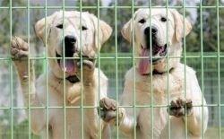 В Корее к службе на таможне готовят клонированных собак (фото)