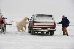 Белый медведь охотится за фотографом (фото)