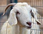 """Трансгенные козы обеспечат \""""железным\"""" молоком"""