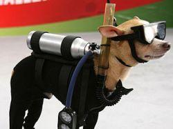 Конкурс собачьей красоты выиграла чихуа-хуа в костюме водолаза