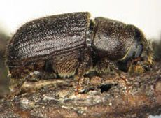 В глобальном потеплении теперь обвиняют жуков