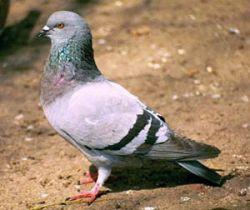 В Венеции запрещают кормить голубей