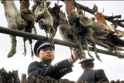 Новая вспышка птичьего гриппа в Южной Корее